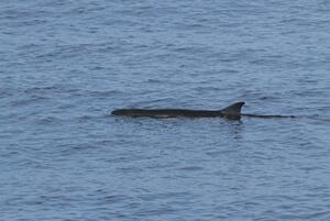 cetacean3